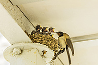 Swallow feeding young birds in nest - THAF001660