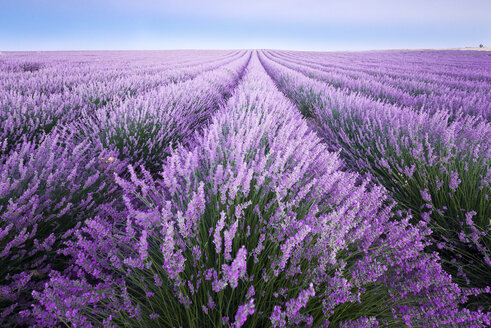 France, Provence, lavender fields - EPF000126