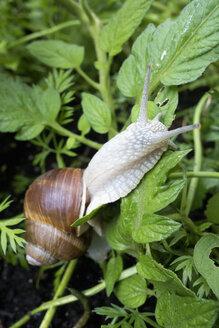 Edible snail, Helix pomatia - NDF000586