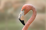 Portrait of a flamingo - ERLF000184