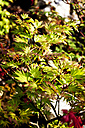 Japanese Maple - CSF027538