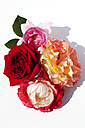 Four roses on white background - CSF027553