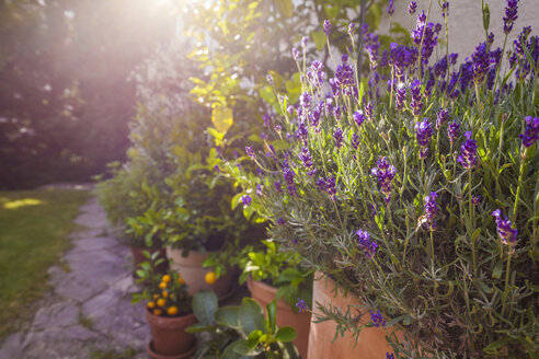 Potted plants in front of house, lavender - WDF003706
