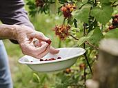 Senior woman harvesting Japanese Wineberries - HAWF000950