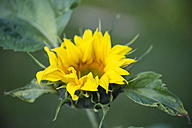 Sunflower - MYF001721