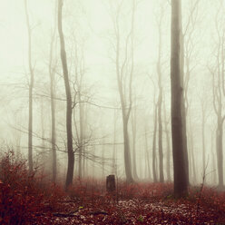 Winter forest and fog - DWIF000765