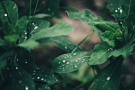 Rain drops on green leaves - BZF000340