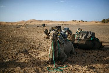 Morocco, Meknes-Tafilalet, Midelt, Merzouga, Camels in the desert Erg Chebbi. - KIJF000696