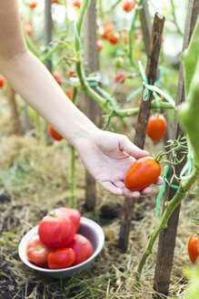 Woman's hand harvesting tomato in a greenhouse - KNTF000449