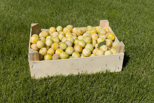 Mirabelles in a wooden box on a meadow - KLRF000474