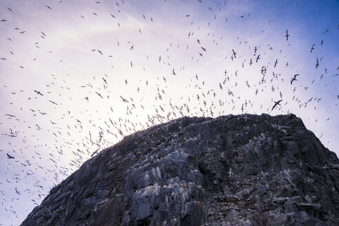 UK, Scotland, East Lothian, Bass Rock with a colony of Northern Gannets - SMAF000530