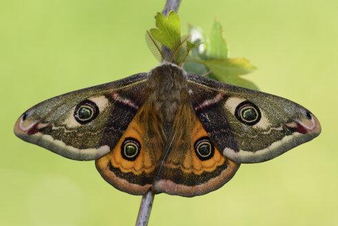 Small Emperor Moth on twig - MJOF001264