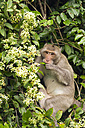 Thailand, eating Rhesus macaque - ZCF000398