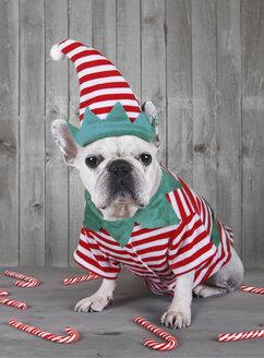 French bulldog wearing Christmas elf costume - RTBF000269