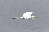 Flying Great white egret - ZC000408