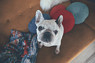 Portrait of French bulldog sitting on couch looking up - RTBF000277