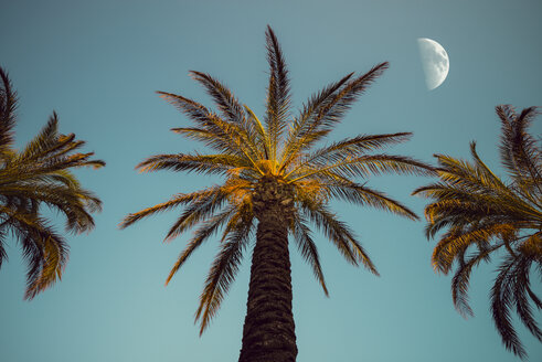 Three palm trees in the evening with moon in the background - OPF000127