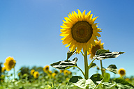 Sunflower field - OPF000133