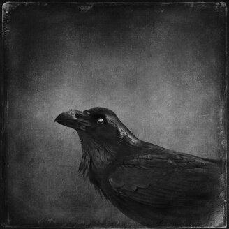 Raven - DWIF000776