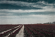 Germany, Tulip fields - DWIF000785