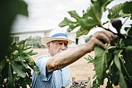 Senior man picking figs - JRFF000856