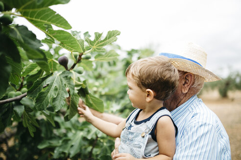 Senior man picking figs with his great-grandson - JRFF000859