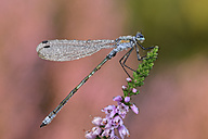 Emerald Damselfly on blossom - MJOF001276