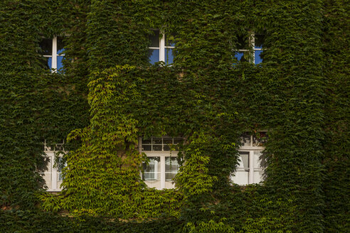 House facade covered with Japanese creeper - TCF005090