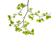 Lime tree leaves in front of white background - RUEF001729