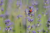 Seven-spotted ladybird on lavender blossom - RUEF001732