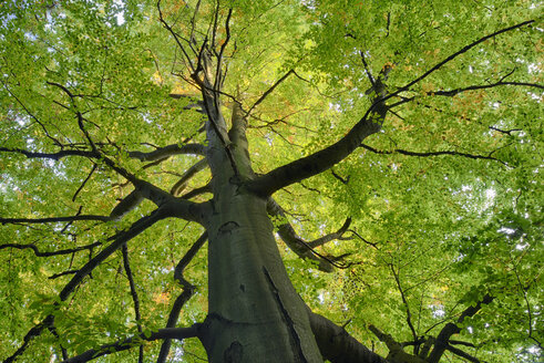 Germany, low angle view of beech tree at Saxon Switzerland National Park - RUEF001744