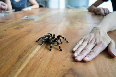 Mexican tarantula crawling on wooden table, in front of a hand - NDF000599