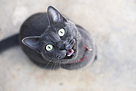Meowing Russian blue looking up to camera - GEMF01008