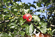 Red apple on tree - JTF00771