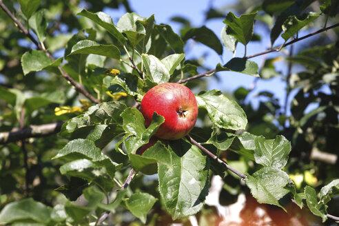Red apple on tree - JTF00771