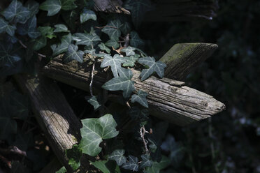Ivy overgrowing wooden fence - JTF00774