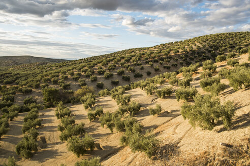 Spain, Andalusia, hills and olive groves - JASF01135