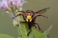 Portrait of European hornet - MJOF01284