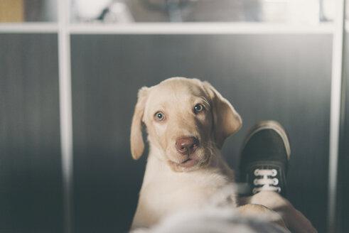 Portrait of Labrador Retriever puppy - SKCF00200