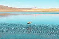 Bolivia, Andes, Altiplano, White flamingo in Laguna Honda - GEMF01060