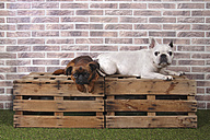 Petit Brabancon and French bulldog lying on wooden boxes in front of  brick wall - RTBF00409