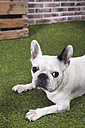 Portrait of French bulldog laying on grass - RTBF00412
