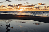 Denmark, North Jutland, dog on tranquil beach at sunset - MJF02063
