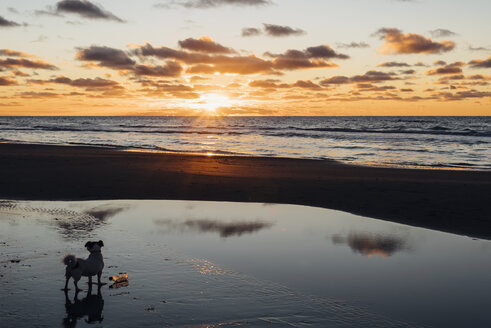 Denmark, North Jutland, dog on tranquil beach at sunset - MJF02063