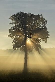 Germany, Upper Bavaria, Landsberied, Backlit tree at sunrise - GNF01365