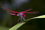 Crimson marsh glider, Trithemis aurora,  Mae Wong National Park - ZCF00420