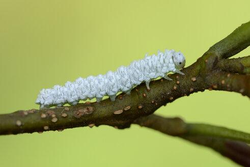 Grub of woolly alder sawfly on twig - MJOF01295