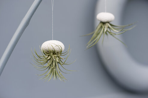 Tillandsias, air plants in sea urchin shells as bathroom decoration - GISF00261