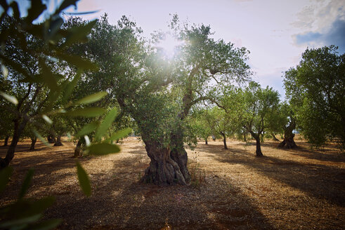Italy, Apulia, Olive trees in back light - DIKF00224