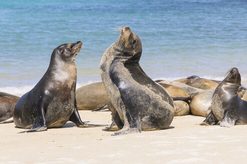 Ecuador, Galapagos Islands, Santa Fe, mating Galapagos sea lions on the beach - CBF00380